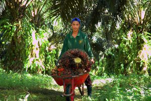 Child labour at the palm oil plantation, Indonesia