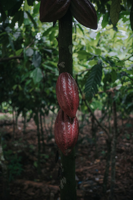 Kakaoplantagen in Afrika Auf einer afrikanischen Kakaoplantage. | Bild (Ausschnitt): © CIFOR [CC BY-NC-ND 2.0]  - flickr
